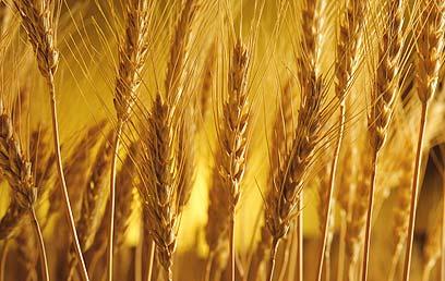 """Shab(v)uot - """"Harvest"""""""