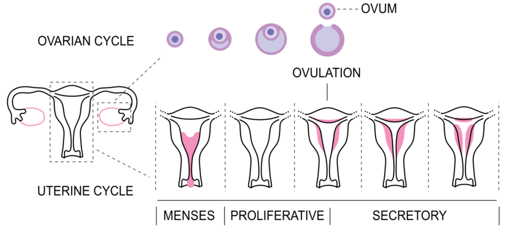 Menstrual_Cycle_bottom