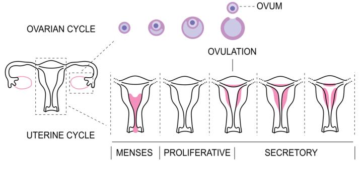 Menstrual_Cycle_bottom