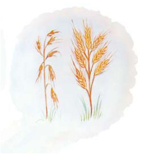 miketz - parsha [seven ears of corn] Gen.41vrs5